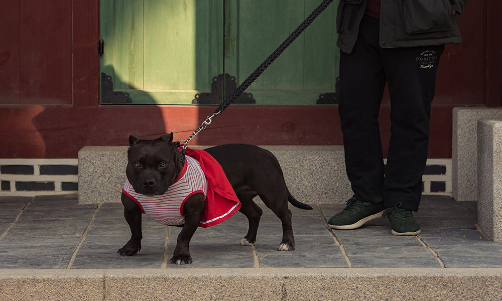 Well dressed staffie: Photo by Yohan Cho on Unsplash