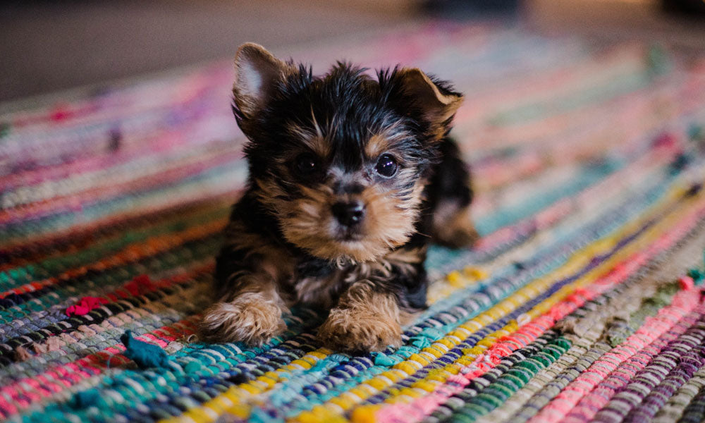 Tiny puppy Photo by Hannah Grace on Unsplash