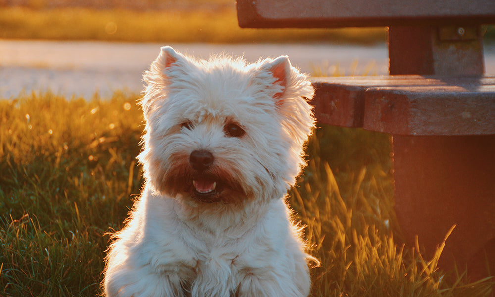 Westie Photo by Zoe Ra on Unsplash