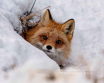 Peek-a-boo Fox Metal print 16x16