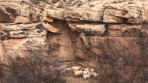 Arizona Ram Only Hunts - Blue Rooster Hunting Ranch