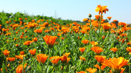 Calendula: From Farm to Product