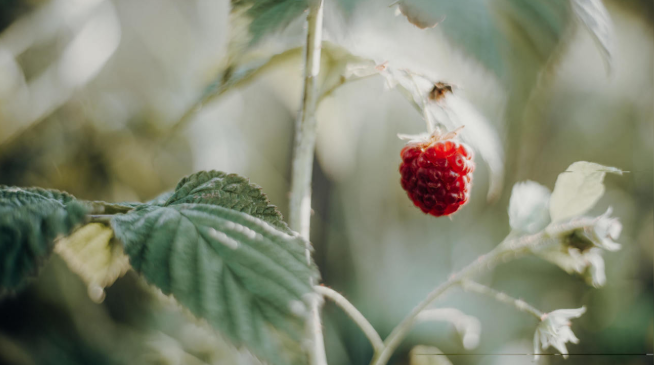 Taking Raspberry Leaves While Pregnant