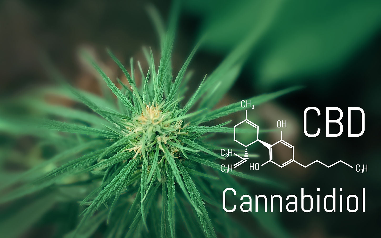 CBD plant with the words Cannabidiol on the image
