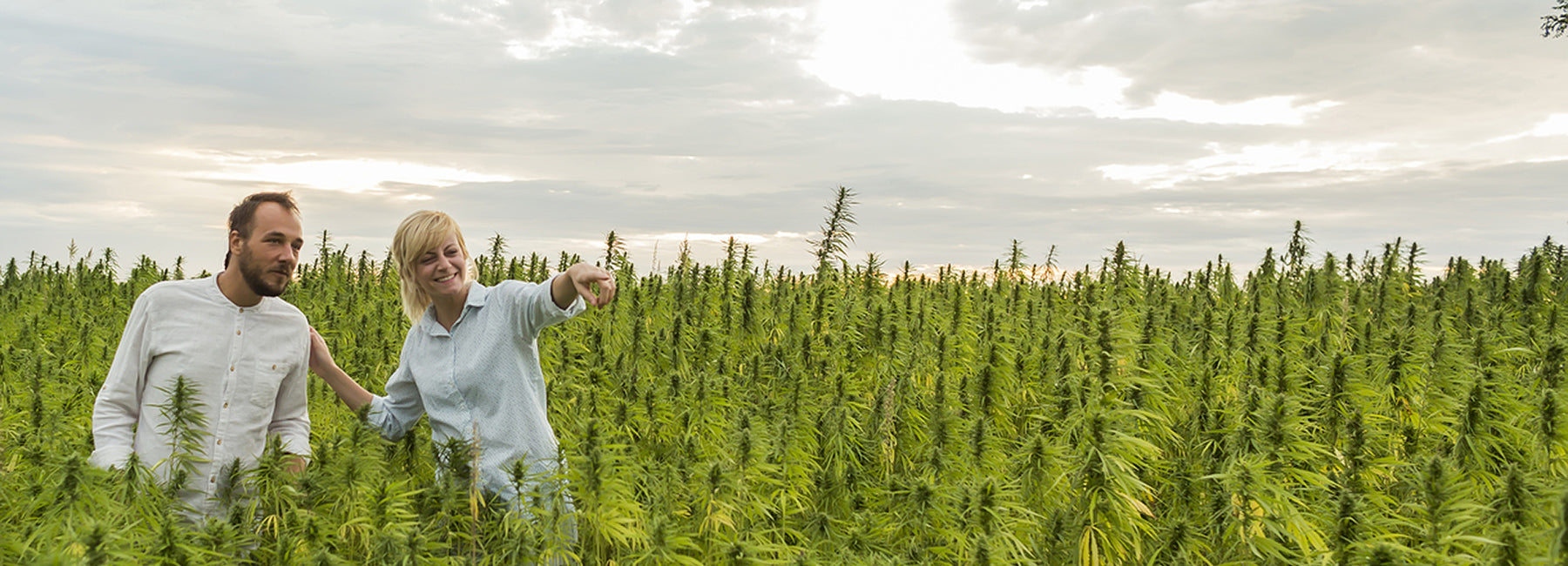 Man and woman standing in a hemp field testing the crop