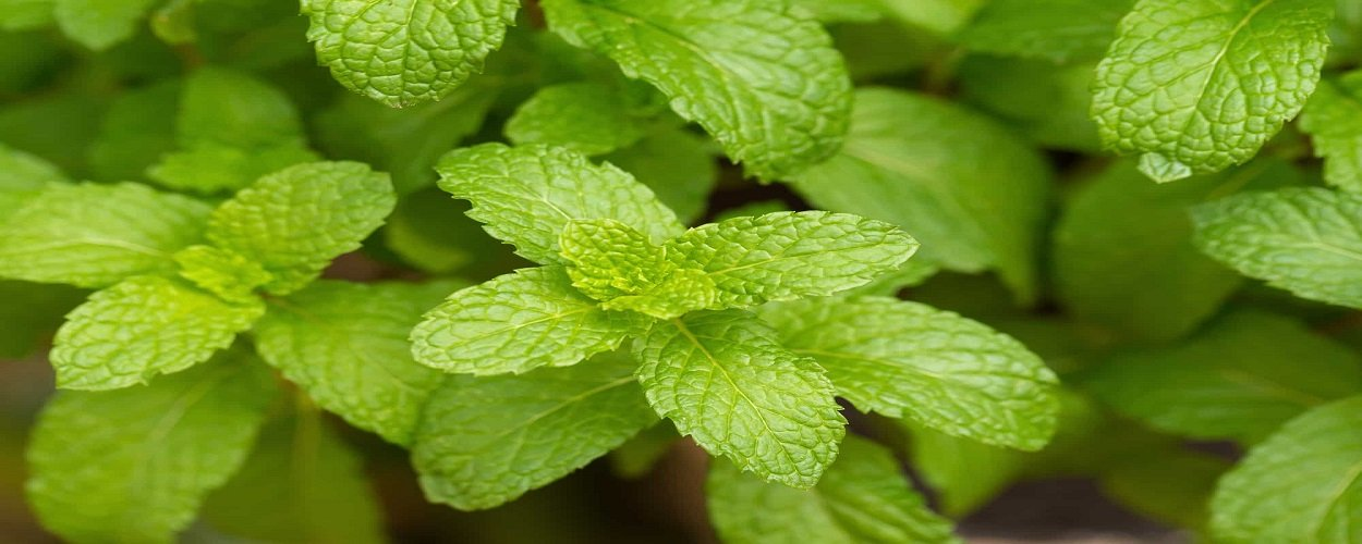 Mint Flavors - back-to-nature-usa