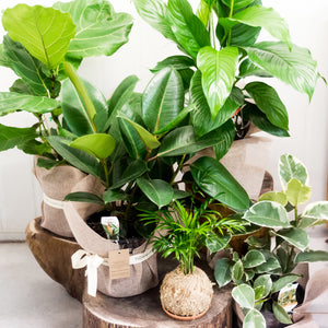 Plant Subscription delivered in Brisbane