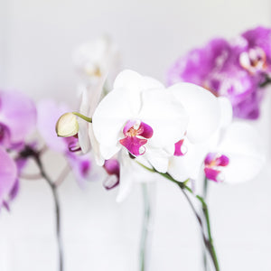 Phalaenopsis Orchid delivered Brisbane