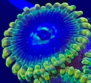 Yodas Zoas (priced per polyp)