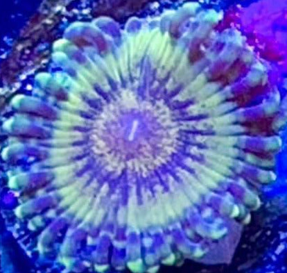 Gold Mauls Zoas (priced per polyp)