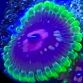 Scralet Fever Zoas (priced per polyp)