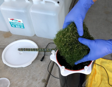 Load image into Gallery viewer, Macro Algae Chaeto for Sump or Reactor