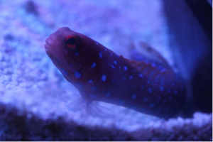 Blue Spotted Jawfish - VS