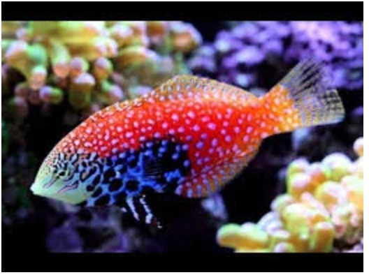 Blue Star Divided Leopard Wrasse Fish - MAD