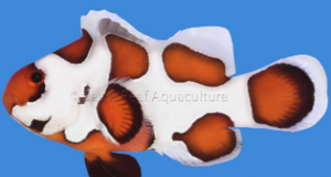 Orange Storm Clown Fish