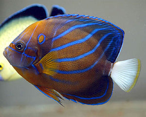 Annularis Angel fish