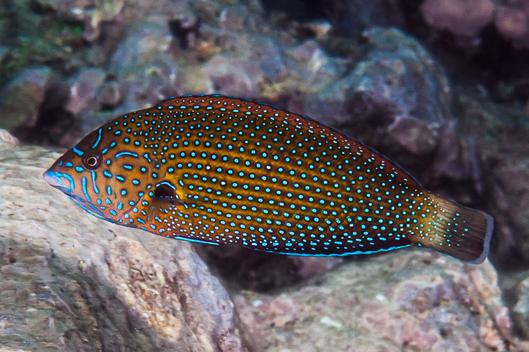 Blue Spotted Wrasse - MAD