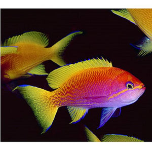 Bimaculatus Anthias - VS