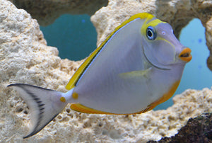Blonde Naso Tang - VS