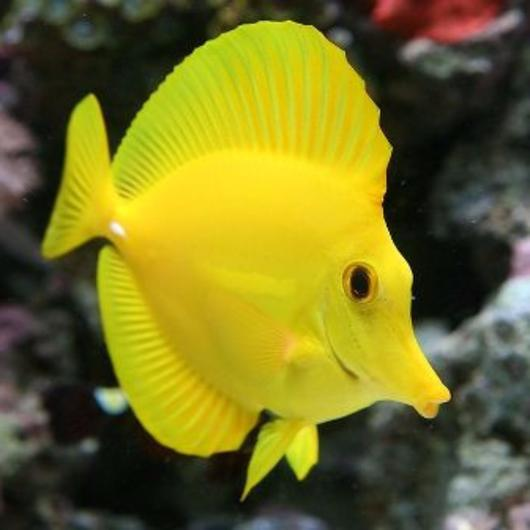 Yellow Tang - VS