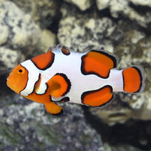 Load image into Gallery viewer, Premium Picasso Clownfish