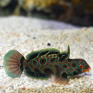 Spotted Mandarin Goby - VS