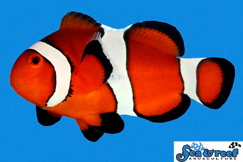 Small Ocellaris Clownfish aka Nemo