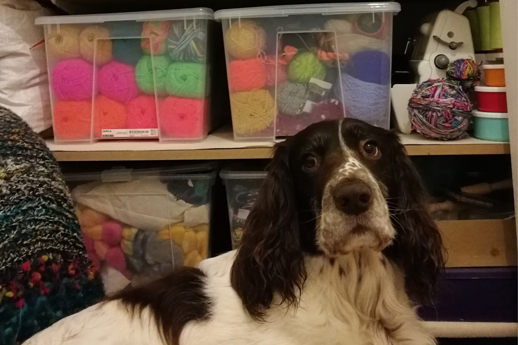 picture of a brown and white springer spaniel sitting on a sofa bed you cant see. he is looking at the camera, behind him are shelves filled with neon coloured yarn