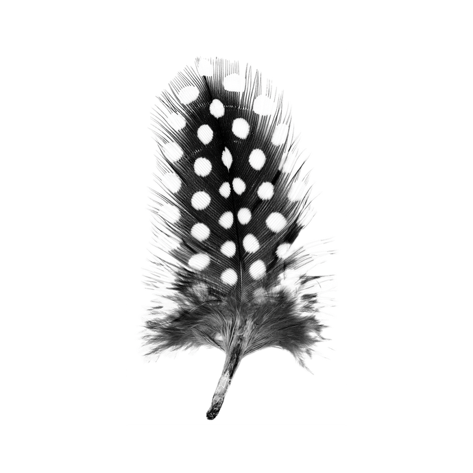 Guinea Fowl Feather