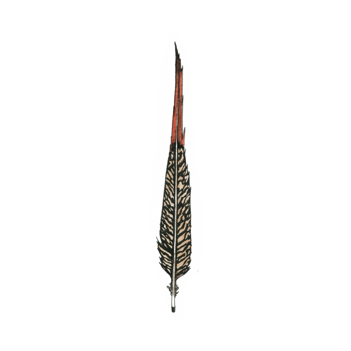 Golden Pheasant Feather