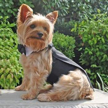 Black Dog Tuxedo w/Tails, Bow Tie, and Cotton Collar - Coco and Chili's Shop