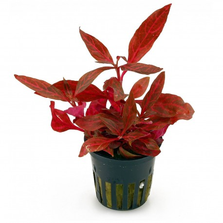Alternanthera reineckii Rosanervig - Pot