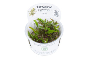 Cryptocoryne wendtii 'Green' In-Vitro