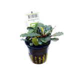 Bucephalandra sp. 'Red' - pot