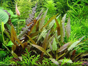 Cryptocoryne beckettii 'Petchii' - pot