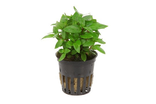 Staurogyne repens - pot