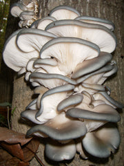 BLUE TREE OYSTER MUSHROOMS - Pleurotus ostre