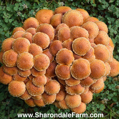 Chestnut Mushrooms - Pholiota adiposa