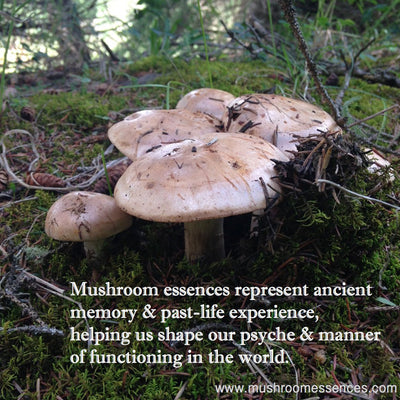 Mushroom Essences represent ancient memory & past-life experience, helping us shape our psyche & manner of functioning in the world.