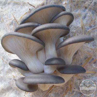 BLUE TREE OYSTER MUSHROOMS (Pleurotus ostreatus)