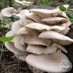 PEARL OYSTER MUSHROOMS (Pleurotus ostreatus)
