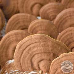 RED REISHI MUSHROOMS (Ganoderma lucidum)