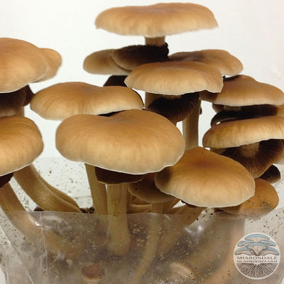 VELVET PIOPPINO MUSHROOMS (Agrocybe cylindraceae)