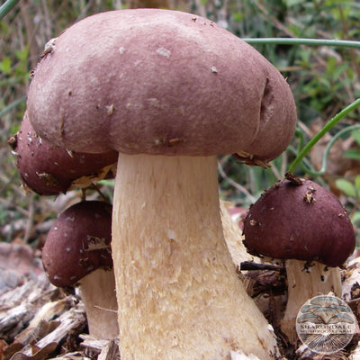 Wine Cap Stropharia Mushrooms