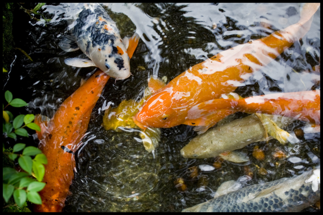 Tips for Building a Beautiful Koi Pond