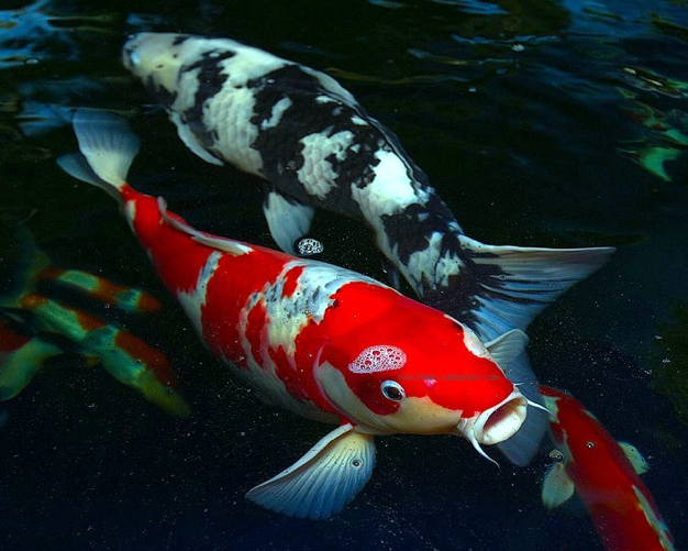 A Koi Pond Can Add Life to Landscaping
