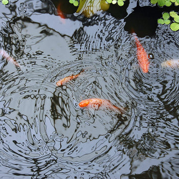 summer fish kill prevention, protect your pond fish