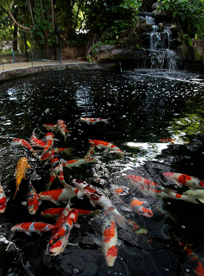 Building your Own Koi Pond