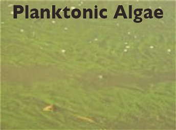 Planktonic Algae