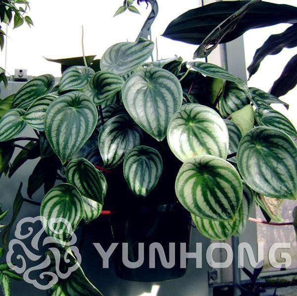 100pcs Rare Peperomia Sandersii Seeds EXOTIC Flower Seeds Melon leaves bonsai decoration gift Home & Garden free shipping